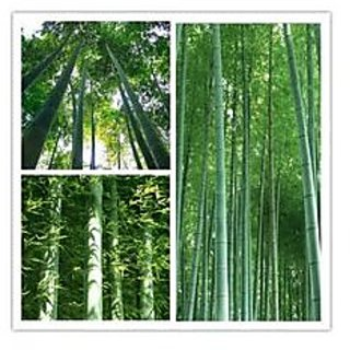 Bamboo Seeds For Farming Bamboo Seeds Garden Pack By Creative Farmer