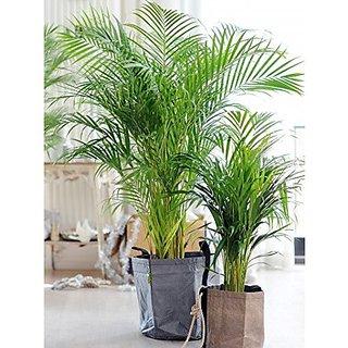 Creative Farmer Areca Lutscence Ornamental Plant Seeds (Pack of 5 Seeds)
