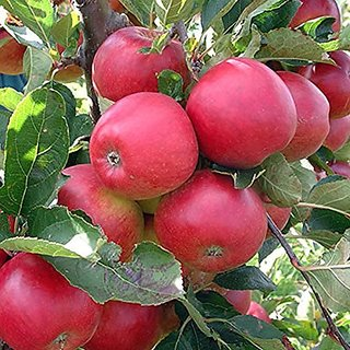 Fruit Seeds : Gala Apple Tree Plant Grow Your Own Tasty Apples Plant For Garden Balcony Fruit Seeds Pack By Creative Farmer