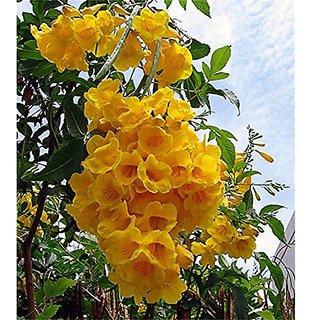 Buy Ornamental Flowering Tree Esperanza Yellow Flower Flowers To