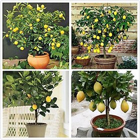 Fruit Seeds : Exotic Fruit Lemon Seeds Fruit Seeds For Indoor Plants Fruit Seeds Pack By Creative Farmer