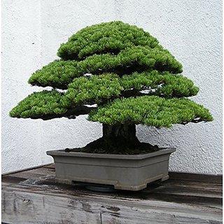 Bonsai Suitable Plant Japanese Pine Tree Seeds Bonsai Suitable Seeds (Pack Of 5) For Bonsai Suitable Lovers-By Creative Farmer