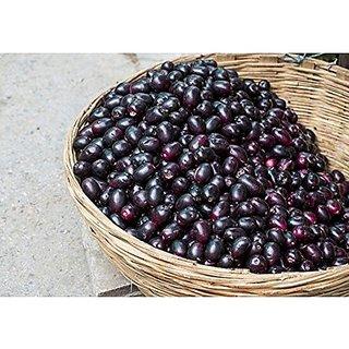 Fruit Seeds Jamalu - Blackberry Like Fruit (Syzygium Cumini) Seeds For Home Garden Fruit Seeds Kitchen Garden Pack By Creative Farmer