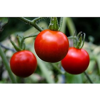 Tomato Seeds Hybrid For Summer Vegetable Seeds -50 Seeds by Creative Farmer