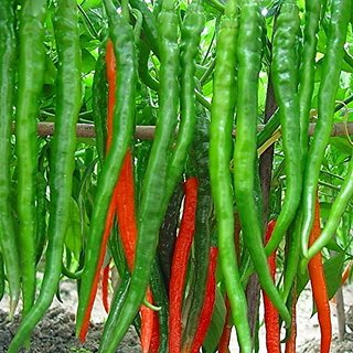 Creative Farmer Hybrid Green Chilli Seeds