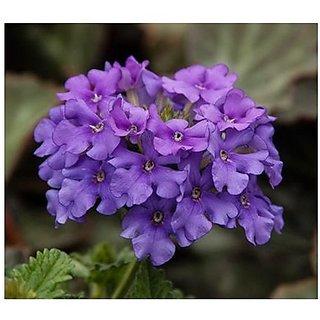 Flower Seeds : DevilS Bane Blue Seeds Of Flower Seeds Plant Seeds (25 Packets) Garden Plant Seeds By Creative Farmer