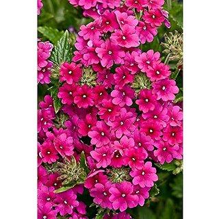 Flower Seeds : Vervain Garden Seeds Winter Garden Plant Seeds For Fence (19 Packets) Garden Plant Seeds By Creative Farmer
