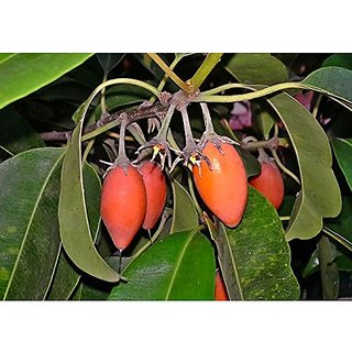 Fruit Seeds Bulletwood Tree Seeds For All Season Kitchen Garden Fruit Seeds Pack By Creative Farmer