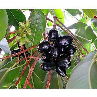 Fruit Seeds Saval Naval Blackberry Like Fruit - Syzygium Cumini Seeds For Garden Fruit Seeds Kitchen Garden Pack By Creative Farmer