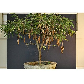 Fruit Seeds Bonsai Suitable Tamarind Fruit Seeds Fruit Seeds Kitchen Garden Pack By Creative Farmer