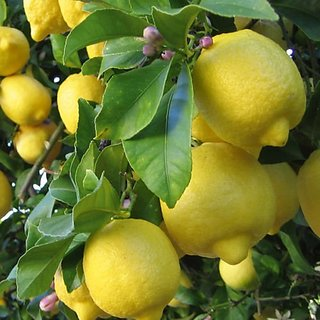 Creative Farmer Bonsai Suitable Fruit Seeds : Lemon Tree Fruit Seeds For Bonsai Plant Bonsai Suitable Fruit Seeds Pack