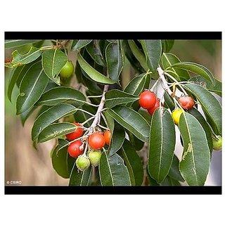 Fruit Seeds Mamosa -Elangi Seeds For Kitchen Garden Kitchen Garden Fruit Seeds Pack By Creative Farmer
