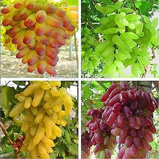 Bonsai Suitable Fruit Seeds Green Skinned Best Fruit Seeds Kitchen Garden Bonsai Suitable Fruit Seeds Pack By Creative Farmer