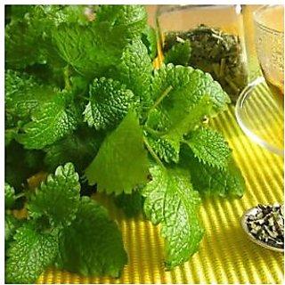 Indian Gardening Lemon Balm Herbs Seeds 20 Finest Seeds