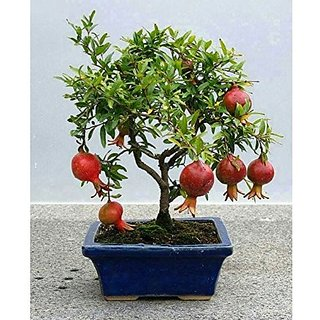 Creative Farmer Fruits and Tree Combo Bonsai Suitable Seeds Pack