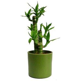 lucky bonsai bamboo tree seeds 10 per packet