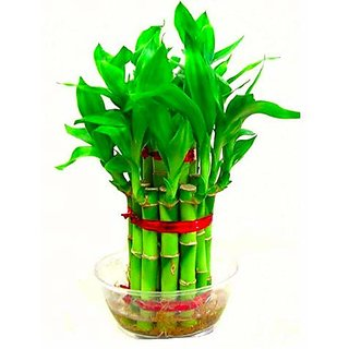 Bonsai Bamboo Tree Seeds (1 cm x 1 cm x 1 cm) - Pack Of 10