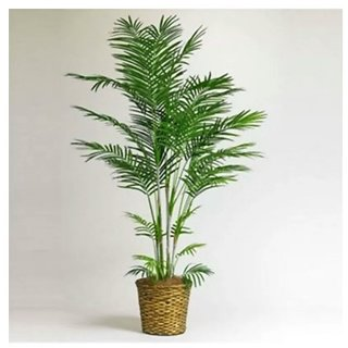 mini dwarf bamboo bonsai tree seeds 10 per packet