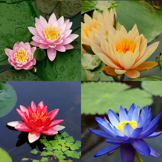 Rare 10 seeds 4 color mix Bowl Lotus Flower Seed water Aquatic Plants Nelumbo