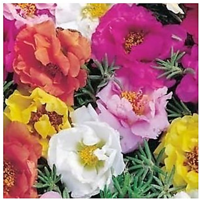 50 seeds mixed collors Rose Tricolor Seeds Sparaxis Flower Seeds