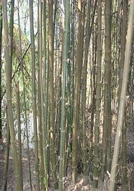 Live Giant Bamboo Plant, Nursery Plant Sapling, Indian Thorny Bamboo for Indoor or Outdoor