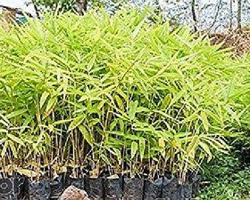 Live Thorny Bamboo Plant, Nursery Plant Sapling for Indoor or Outdoor