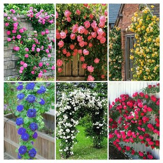 M-Technologies 6 Varieties Climbing Rose Flower Seeds (Red, Yellow, White, Pink, Purple, Blue) Mixed 20 Seeds