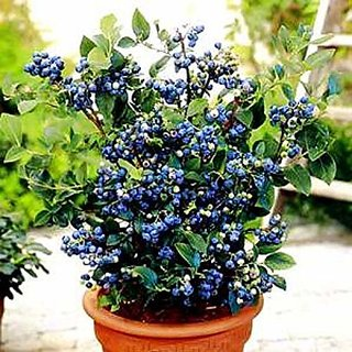 ENORME 320Pcs Fruitful Blueberry Plants Outdoor Blueberry Tree Plants Delicious Organic Fruit Plants Home Garden Plants Courtyard Plant 200 Pcs Seeds