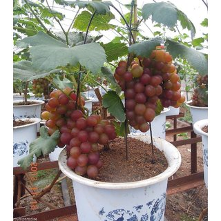 ENORME Nursery Hybrid Grafted Grapes Fruit Plant Saplings 200 Seeds