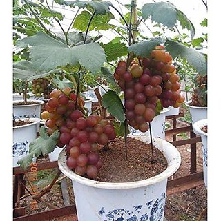ENORME 320Pcs Fruitful Grapes Plants Outdoor Grapes Tree Plants Delicious Organic Fruit Plants Home Garden Plants Courtyard Plant 200 Pcs Seeds