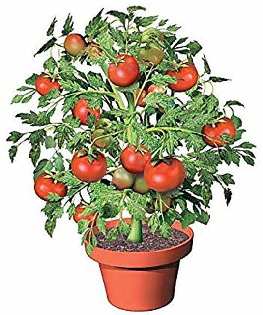 Buy Enorme 300pcs Seeds Fruitful Tomato Plants Outdoor Tomato Tree Plants Delicious Organic Fruit Plants Home Garden Plants Courtyard Pla Tomato Bonsai Online Get 29 Off
