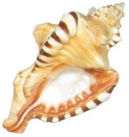 Ganesh Shankh ( Conch )