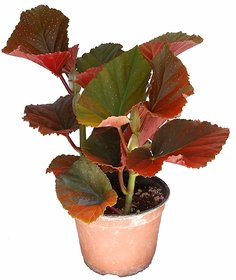 Begonia Plant ( A-Grade Red Flowers Live Plant )