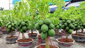 Dwarf bonsai Carica Papaya seeds rare sweet flesh papaya fruit 20 seed +LOWEST PRICE