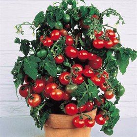 Bonsai Tomato Seeds (pack of 30 seeds) + Lowest Price