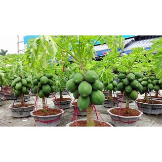 Dwarf bonsai Papaya Wood Black Seed 20
