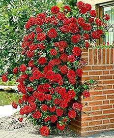 Plant House Live Beautiful Climbing Rose/Gulab Red Flower Plant With Pot