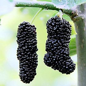 Plant House Live Sweet Black Long Mulberry/Shahtoot Healthy Fruit Plant With Pot