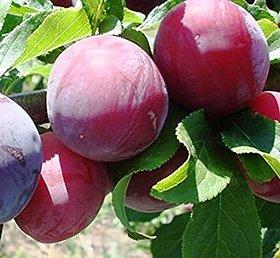 Plant House Live Sweet Aloocha/Plum Healthy Fruit Plant With Pot