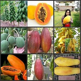 Combo Papaya 4 Varieties 10 Seeds Each Round,Dwarf,Golden,Red Good Seed (mix , pack of 40 seeds)