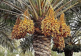 Plant House Live Date-Khajur-Khajoor Fruit Plant - Healthy Plant