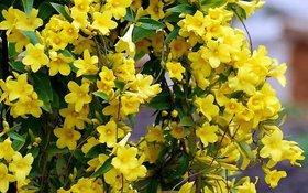 Plant House Live Yellow Jasmine/Pili Chameli Flower Plant with Pot