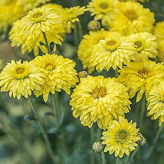 Plant House Live Yellow Guldavari/Chrysanthemum Beautiful Flower Plant With Pot