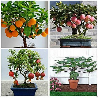 Bonsai Fruit 40 Piece Seeds Combo Orange ,Pomegranate ,Apple ,Papaya Seeds Pack (10 seeds each variety, total 40 seeds)
