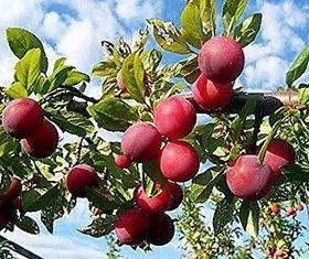 Plant House Live Aloo Bukhara (Plum) Fruit Plant For Home/Kitchen Garden Plant With Pot