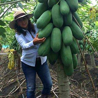 Giant Dwarf bonsai Carica Papaya seeds rare sweet flesh papaya fruit Big Size (Pack Of 20 seeds) +LOWEST PRICE