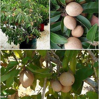 ENORME2 00 Pcs/Pack Chiku Tree Seeds Rare Fruit Chiku Seed