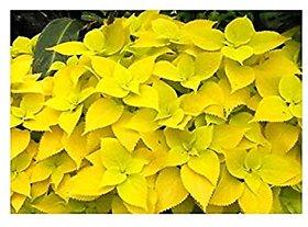 Plant House Live Yellow Coleus Plant With Pot - Decorative Plant