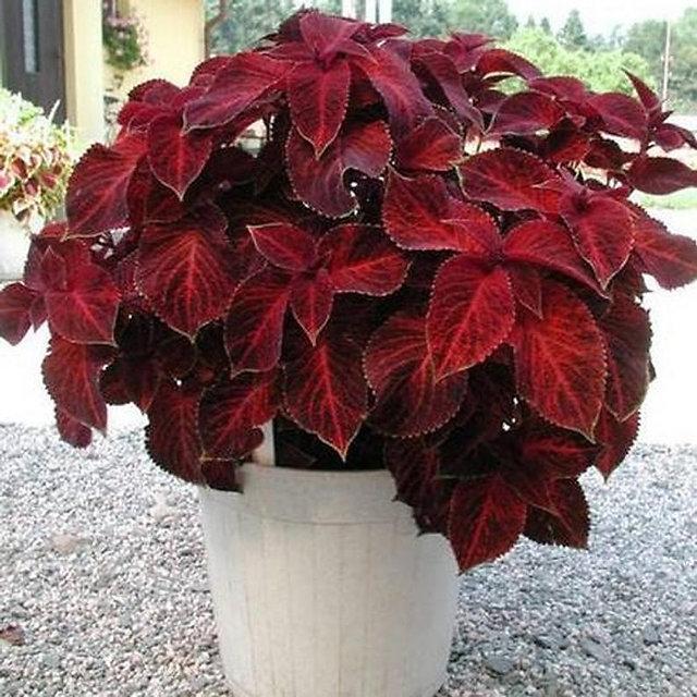 Buy Plant House Live Red Coleus Plant With Pot Decorative Plant Online Get 57 Off