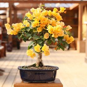 Plant House Live Yellow Bougainvillea Bonsai Plant With Plastic Bonsai Pot - Decorative Indoor/Outdoor Plant